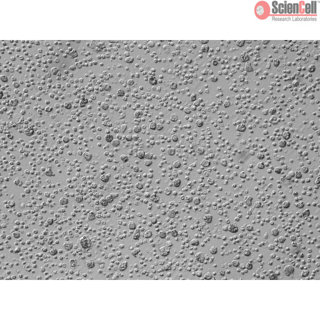 Human Liver Mononuclear Cells (HLMC) – Relief Contrast, 200x
