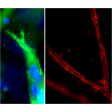 Resultant endothelial tubules from Cat 8728 stained with CD31 (green, left) and ZO-1 (red, right) using this 3D Gel Staining Prep Kit