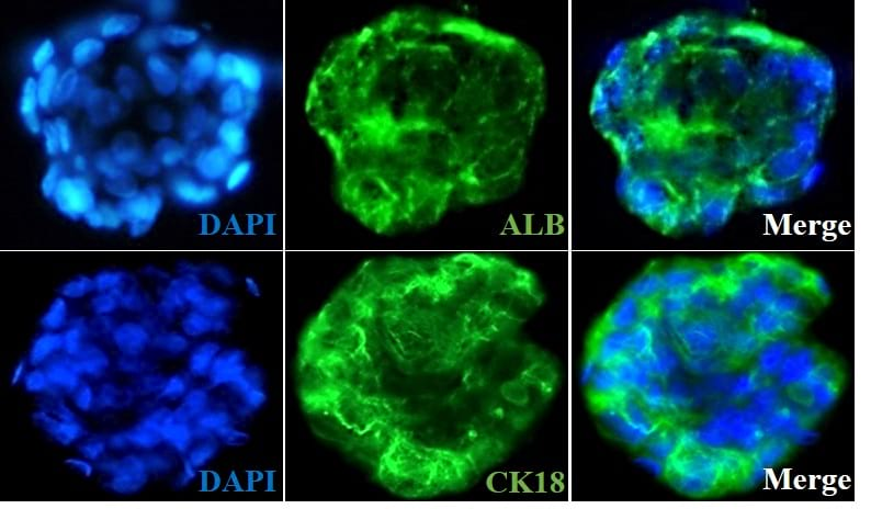Ready-to-use 3D osteoblast spheroids at 24 hours after thawing